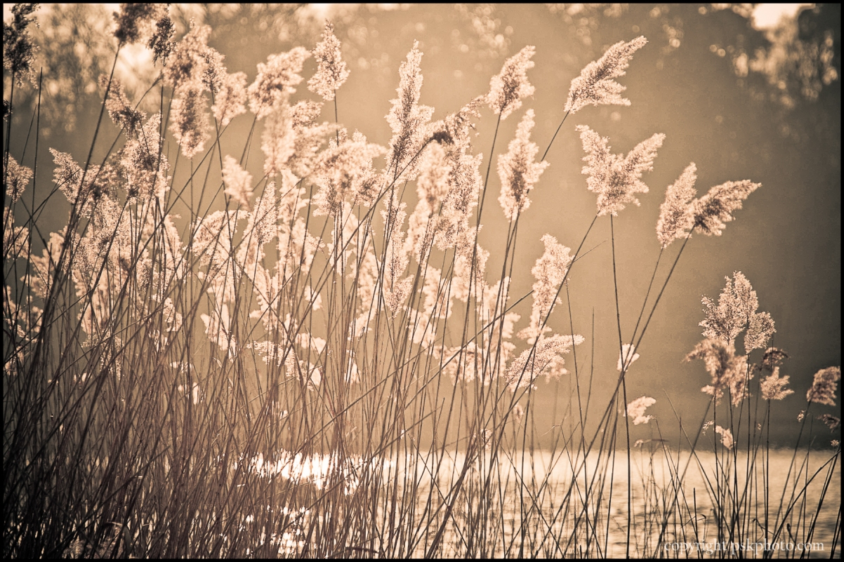 Water reeds, Virginia Water, Surrey, 2011