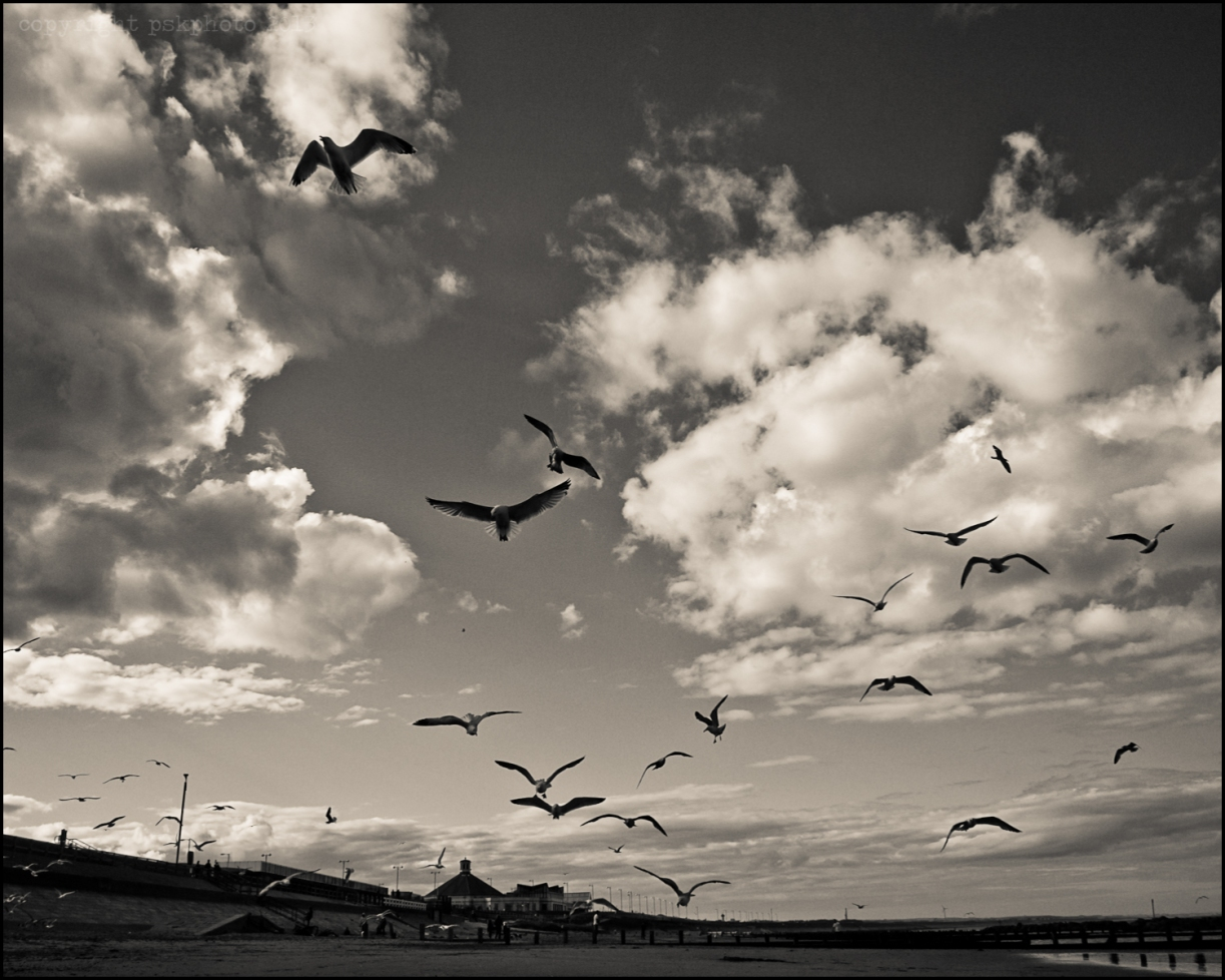 Seagulls flock for chips thrown up into the air, Aberdeen sea front, 2013.